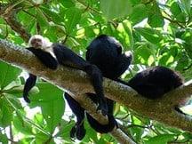 cariblanca_monkeys