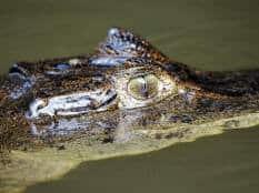 caiman_crocodilus_eye_tortuguero