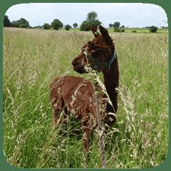 alpaca in grass