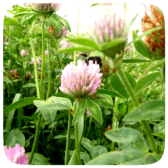 close up of clover in a field