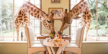 Breakfast with giraffes in kenya should be on every child's bucket list