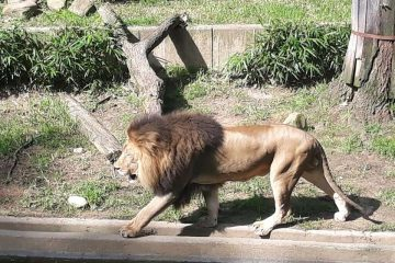 Lion at the National Zoo, Wild Cats