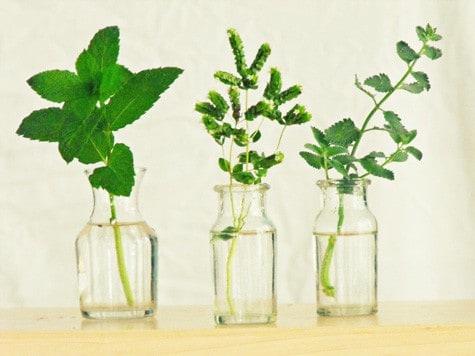 how to propagate herbs 6