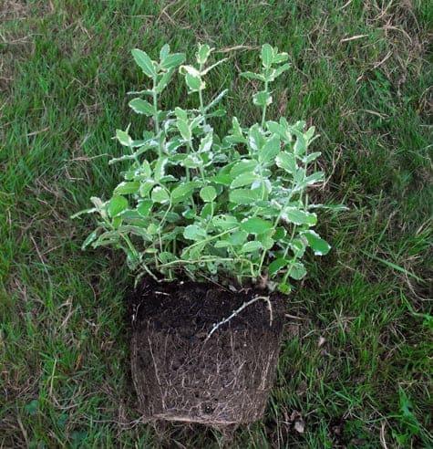 how to propagate herbs 3