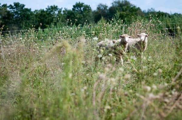 Two sheep look curiously at visitors on bluebird trails farm, a michigan farm-based b&b.