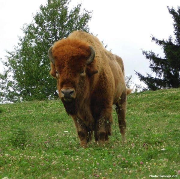 A buffalo at the nemacolin resort