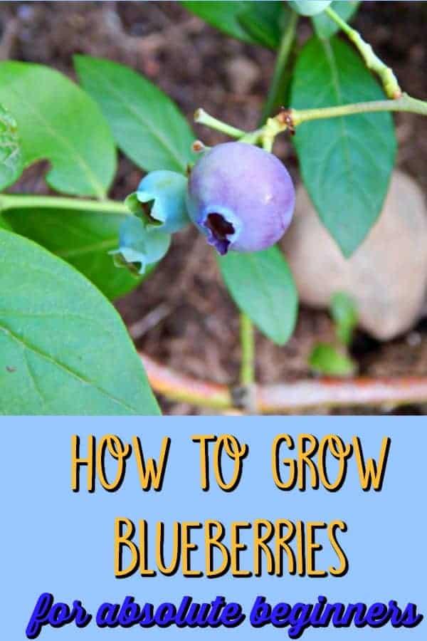 blueberry bush close up of berry