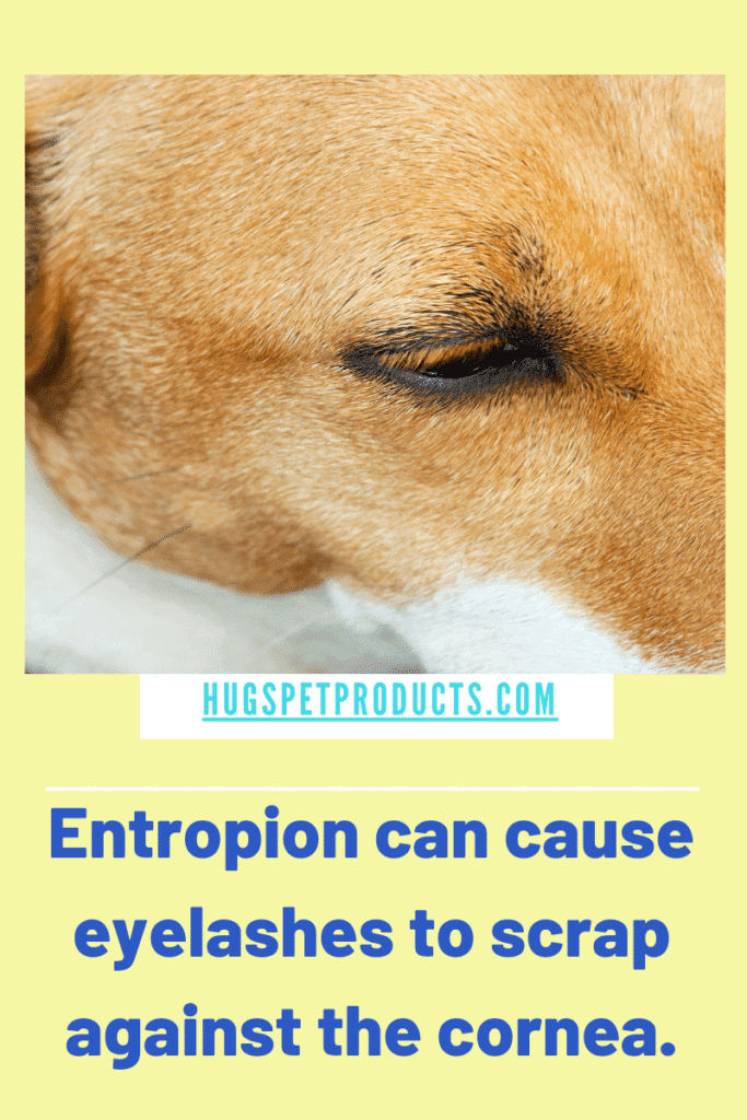 Dog eye boogers can be caused by a condition called Entropion
