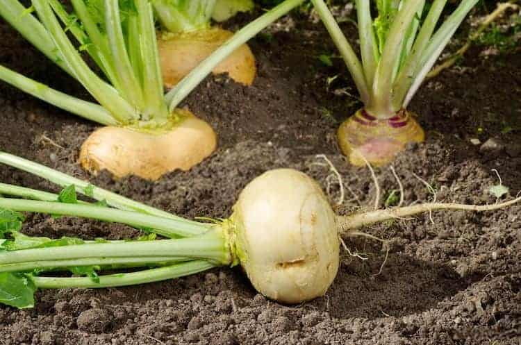 How to Grow Turnips from Scraps
