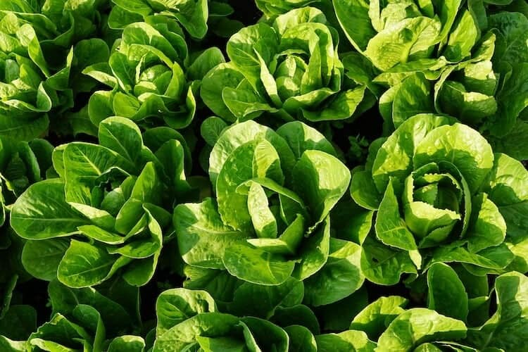 When To Plant Spinach In Alabama