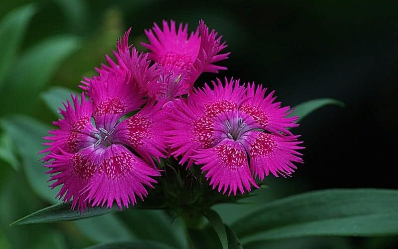 Is Dianthus Poisonous to Dogs