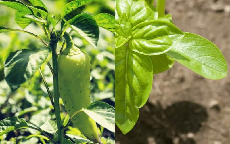 Pepper and Basil plant