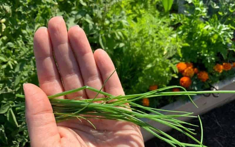 When To Harvest Chives