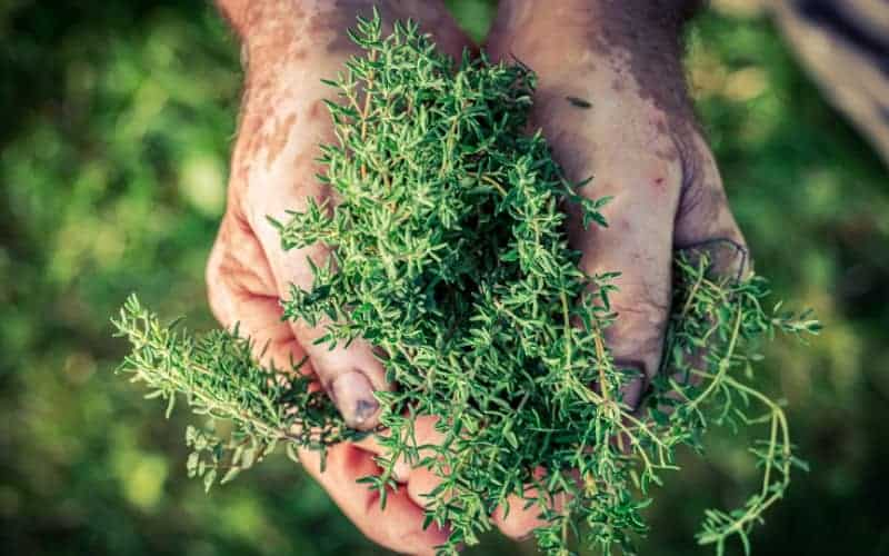 When to Harvest Thyme Without Killing it