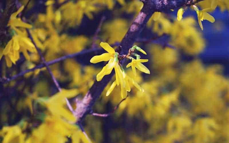 best time to prune Forsythia