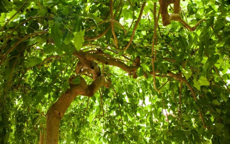 Why Kill Mulberry Trees
