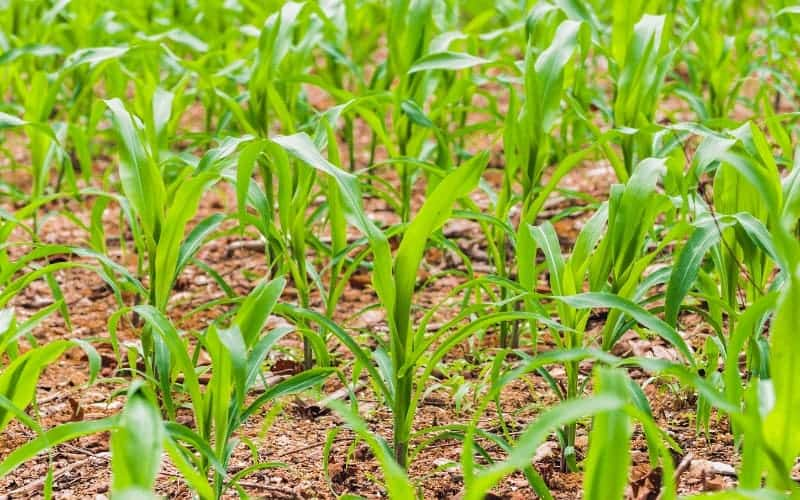 Common Corn Plant Problems and How to Treat Them