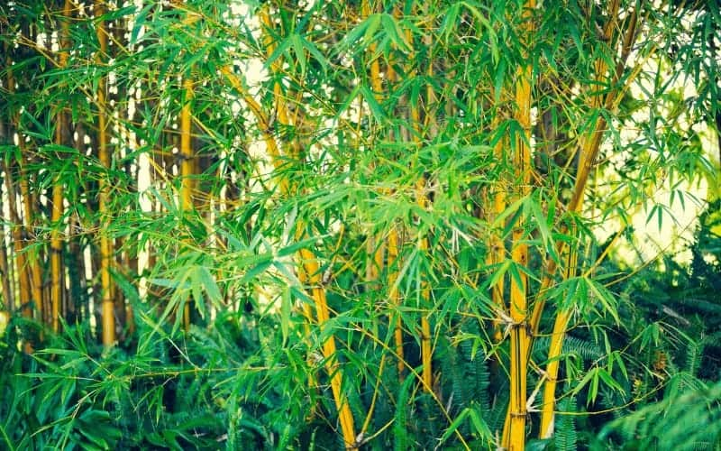 How to Save a Dying Bamboo Plant