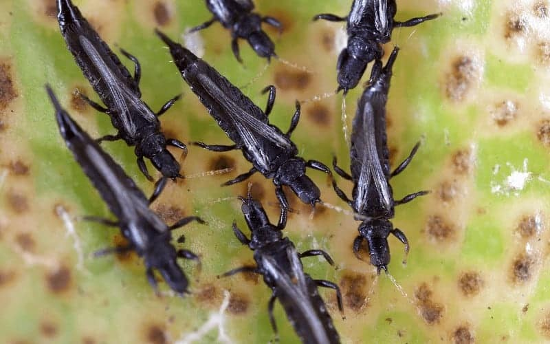 How To Get Rid Of Thrips On Hibiscus