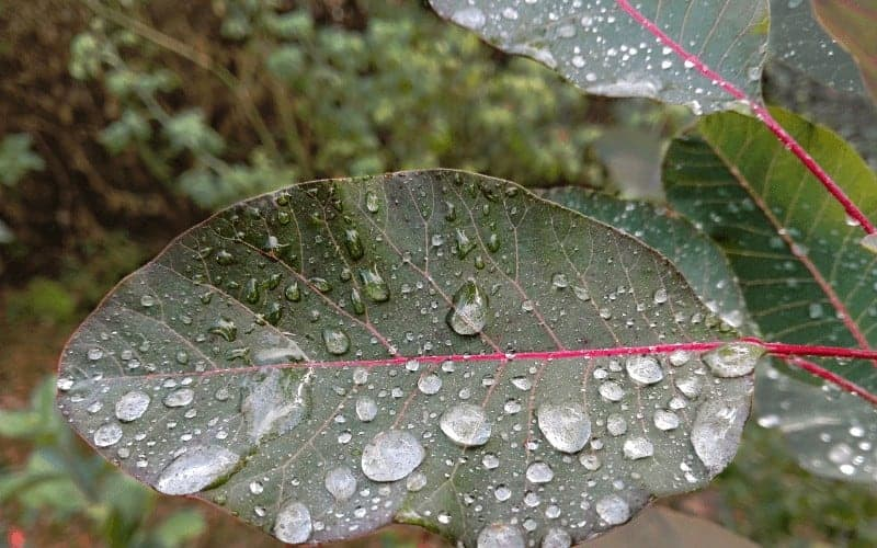 How Long Can You Store Rainwater for Plants