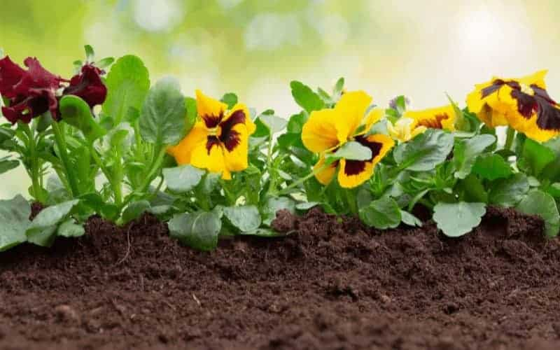 How to Treat Yellow Leaves On Pansy Plants
