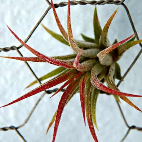 close up of air plant on chicken wire