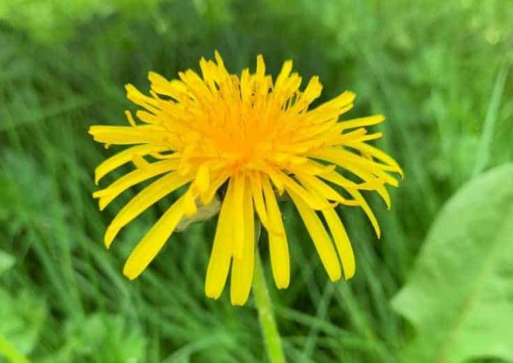 bright yellow flower in grass