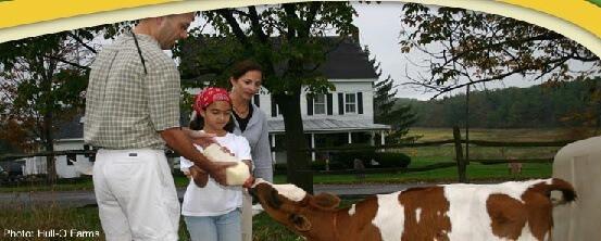 Hull-o farm cow being fed during a farm stay
