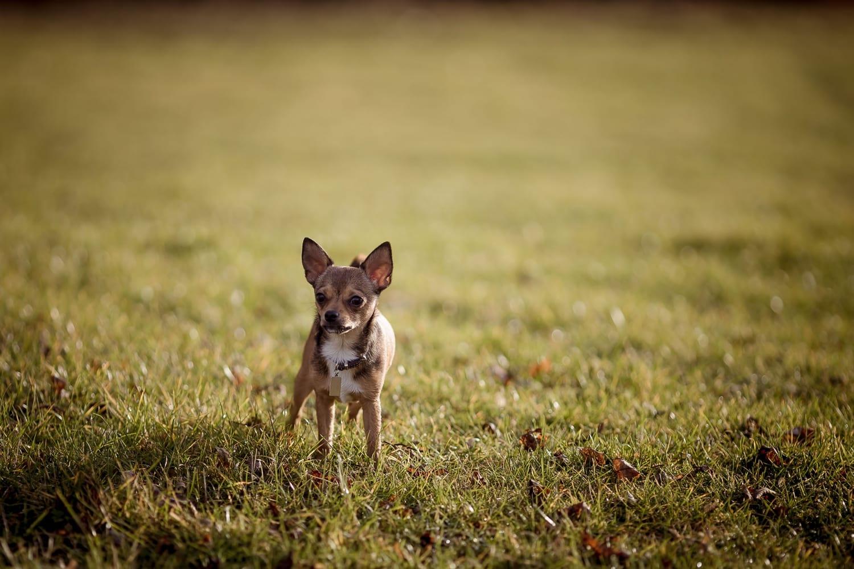 ein kleiner Chihuahua auf einer herbstlichen Wiese