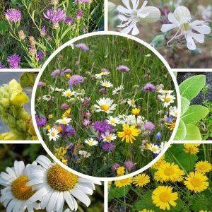 Paahdeniitty siemenseos - korkeat kasvit - houkuttelevat perhosia ja pörriäisiä.