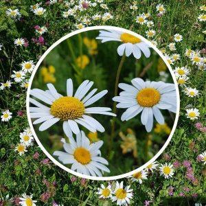 Päivänkakkaraniitty siemenet sisältää suomalaisia päivänkakkaran eli ahopäivänkakkaran siemeniä.