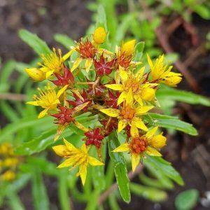 Siperianmaksaruoho - Phedimus aizoon - Gyllenfetblad frön - Perennojen siemenet.