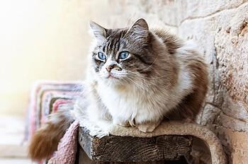 ragdoll cat life expectancy