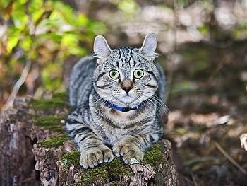 10 Large Domestic Cat Breeds Highlander