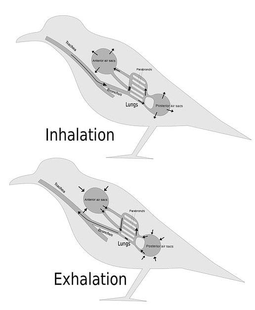 Air flow patterns facilitate efficient gas exchange : Birds - AskNature
