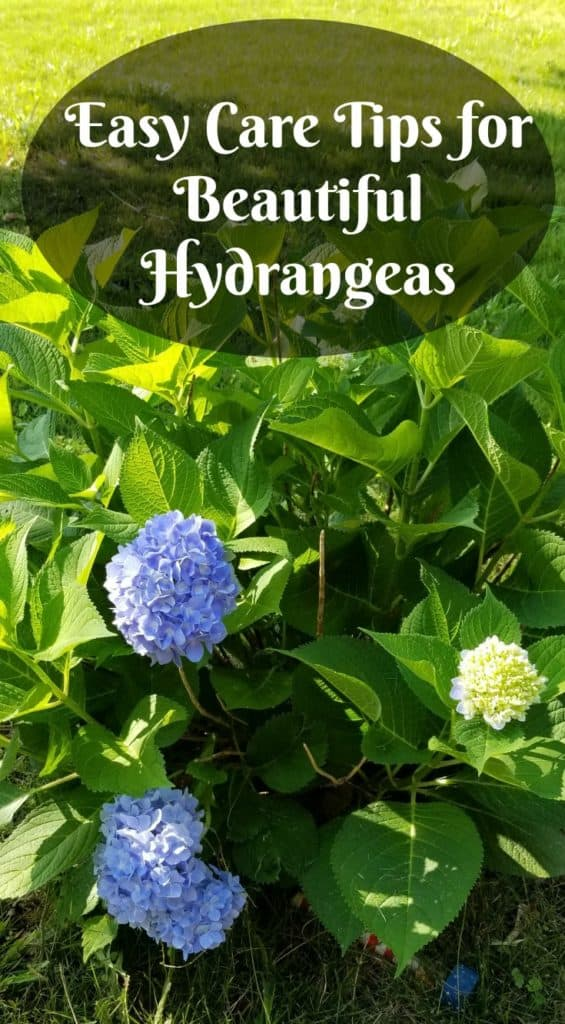 Easy Care For Beautiful Hydrangeas Southern Gardening Gal