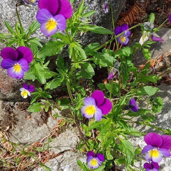 Keto-orvokki - Viola tricolor - Styvmorsviol - Matala koristekasvi jolla kolmiväriset kukat.