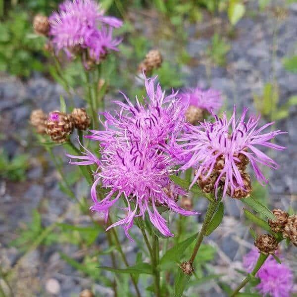 Ahdekaunokki - Centaurea jacea - Rödklint Brown frön - Luonnonkukkien siemenet.