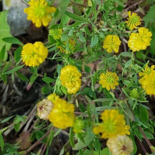 Kelta-apila - Trifolium aureum - Gullklöver - apilan siemenet.