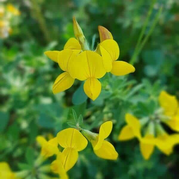 Keltamaite - Lotus corniculatus - Käringtand frön - Maanpeittokasvien siemenet.