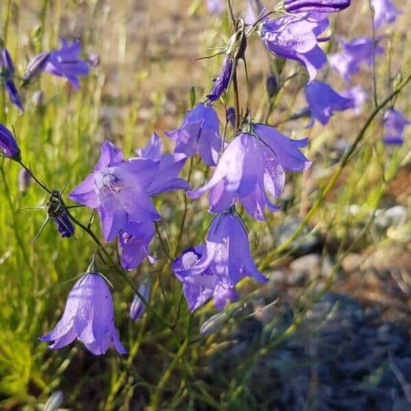 Kissankello - Campanula rotundifolia - Liten blåklocka frön - Luonnonkukkien siemenet.