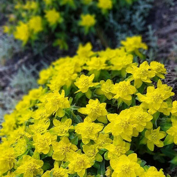 Kultatyräkki - Euphorbia polychroma - Gulltörel frön - Perennojen siemenet.