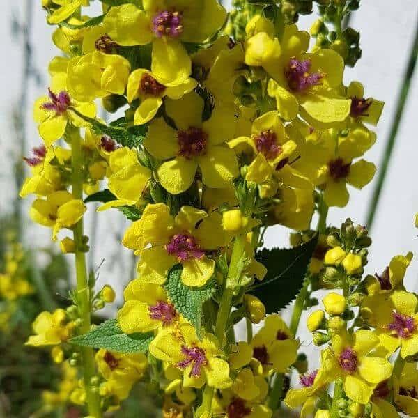 Tummatulikukka - Verbascum nigrum - Mörkt kungsljus frön - Luonnonkukkien siemenet.