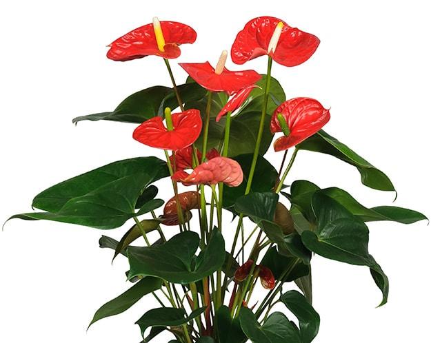 anthurium madural 17 cm