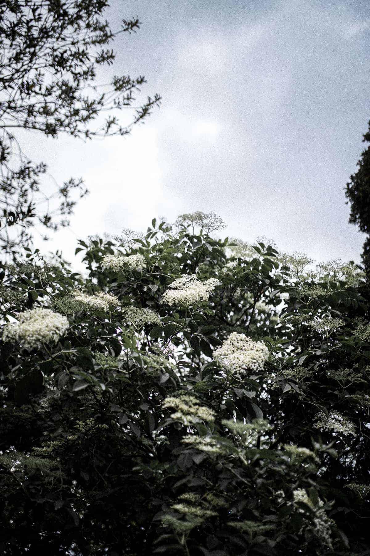 An elder tree.