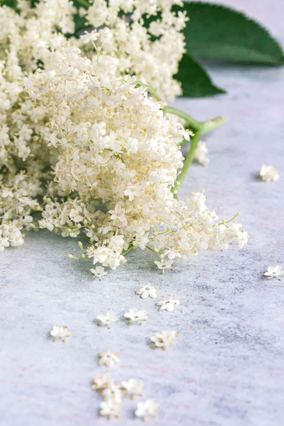 The creamy white flower of elderflower.
