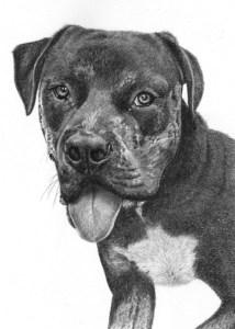 Pencil Portrait of Staffordshire Terrier