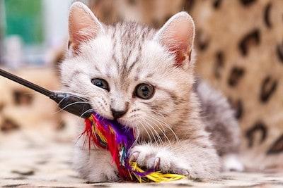Kitten Supply List