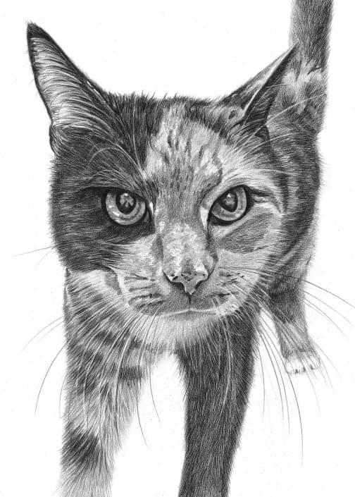 Pencil Drawing of Cat