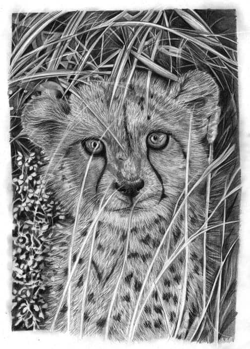 Pencil Drawing of Cheetah